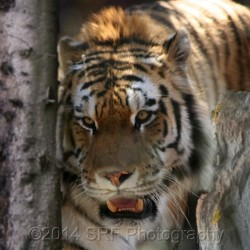 The Amur Tiger by Srf Photography
