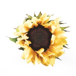 Sunflower #2 by Desmond Manny Photography