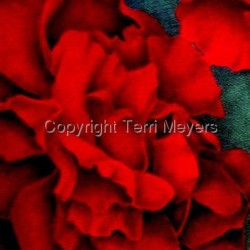 Red Rose by Terri Meyers