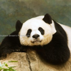 Pensive Panda by Elisabeth Brown's Photography