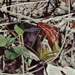 Sprouting Skunk Cabbage by Patricia  Dorr Parker