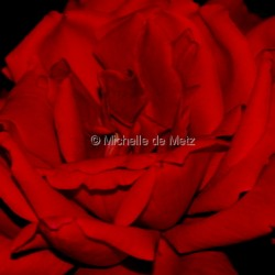 Rose Red by Michelle De Metz