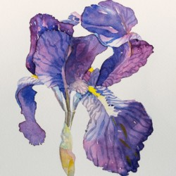 May Iris by Www.elainedillingham.com