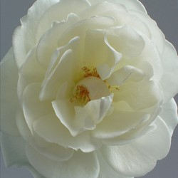 White Rose by Laurinda Stockwell