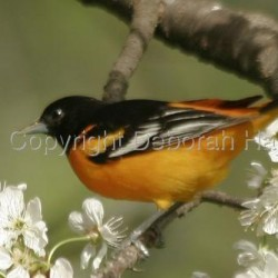 Baltimore Oriole by Deborah Hajek