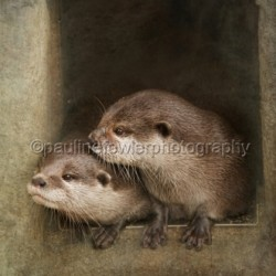 The curious Otters by Pauline Fowler Photography