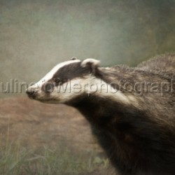 Badger by Pauline Fowler Photography