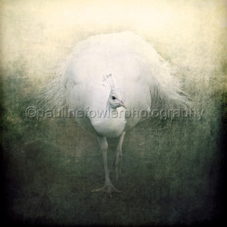 White Peacock by Pauline Fowler Photography