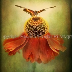 Butterfly and dancing Coneflower by Pauline Fowler Photography