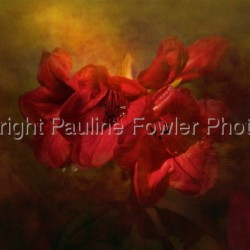 Red Rhodoendron by Pauline Fowler Photography