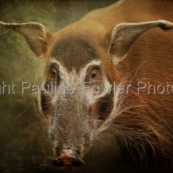 Red River Hog by Pauline Fowler Photography
