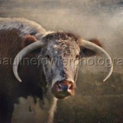 British Longhorn by Pauline Fowler Photography