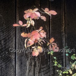 Vine on wood by Ed Ries Photoart