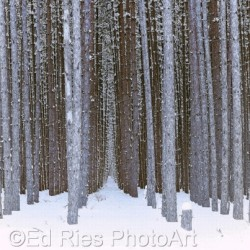 Winter Forest by Ed Ries Photoart
