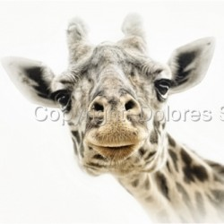 Giraffe by Dolores Smart