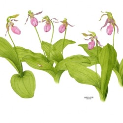 Pink Lady Slippers The Girls by Andrea Wilson Artist