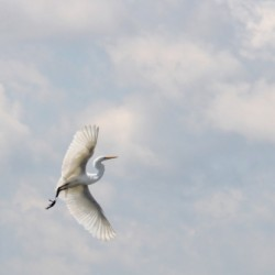Soaring Egret  by Lisa Ernst