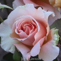 Oregon Rose by Joy Lawson