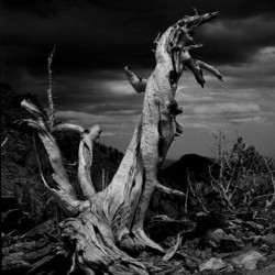 Bristlecone Pine - About 1500 Years Old by Jeffpembertonphoto.com