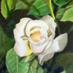 Nostell Rose by Barbara Bussell Walker