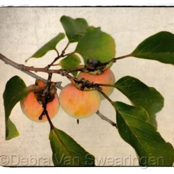 Persimmons - Fruit of the Gods by Van Swearingen Photography