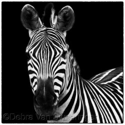 Zebras I by Van Swearingen Photography